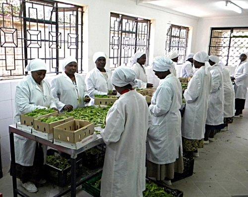 Warzywa na eksport