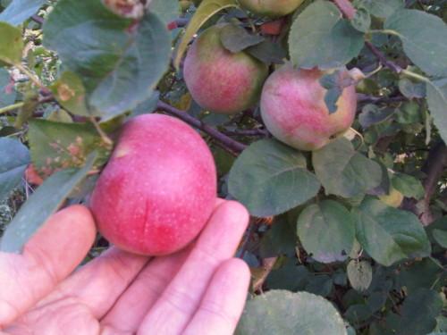 Dzika jabłoń