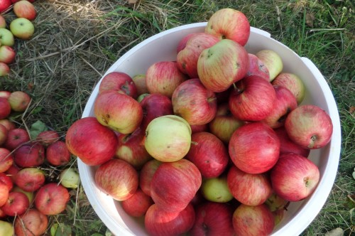 Jabłka ze Stuletniego Sadu, Topolinek