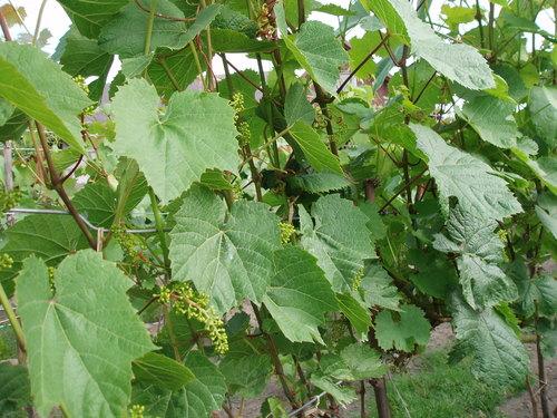 """Winnica """"Pod Orzechem"""" - winorośl na Kociewiu"""