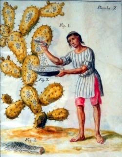 Zbieranie owadów używanych do barwienia
